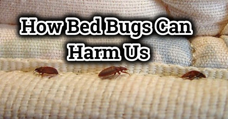 How Bed Bugs Can Harm Us